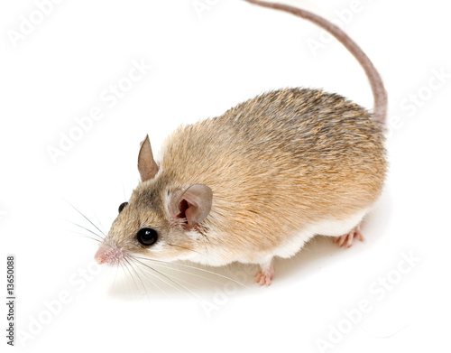 Photo spiny mouse