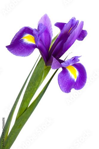Poster Iris yellow iris