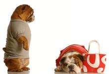 Spending Too Much Money - Bulldog Couple Spending Money