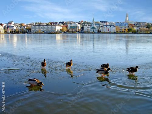 Ducks on ice in Reykjavik, Iceland
