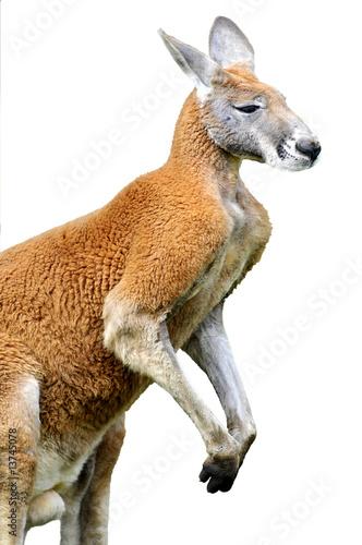 Fotobehang Kangoeroe Détourage d'un kangourou roux