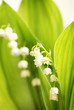 Lily of the Valley, Maiglöckchen, Hochformat, Textraum, copy space