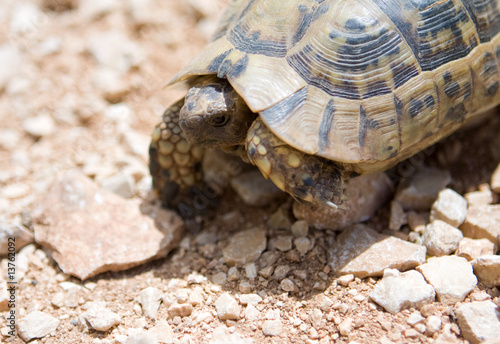 Poster Tortue young small desert Turtle
