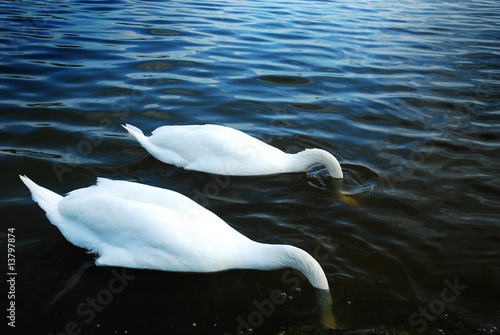 Keuken foto achterwand Zwaan Two swans fishing with their heads in the water