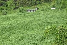 Le Chouchou, Espèce Végétale Invasive