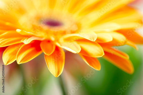 Foto-Kissen - Closeup photo of yellow daisy-gerbera