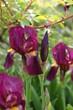 Iris Blüten