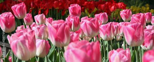 Garden Poster Pink tulipe rose