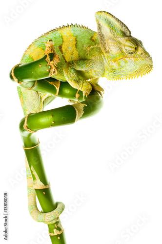 Staande foto Kameleon chameleon. isolation on white