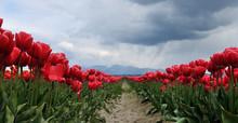 Tulip Field With Rain Clouds