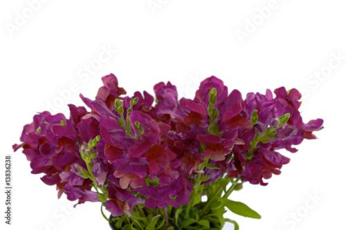 Foto op Canvas Hydrangea Violet Snap Dragon Bouquet