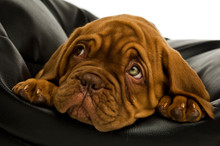 Dogue De Bordeaux Puppy On A B...
