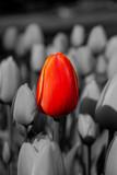Czerwony tulipan wśród tulipanów w odcieniach szarości