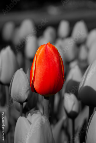 Poster Red, black, white Red Tulip