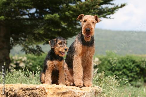 chienne airedale et son petit assis de face à la campagne Canvas Print