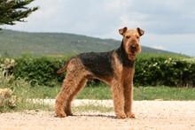 Airedale Terrier Adulte Entier De Profil Sur Un Chemin