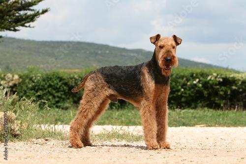Photo airedale terrier adulte entier de profil sur un chemin