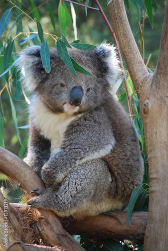 Foto-Flächenvorhang ohne Schienensystem - Koala, Australia (von Jacek Ruta)