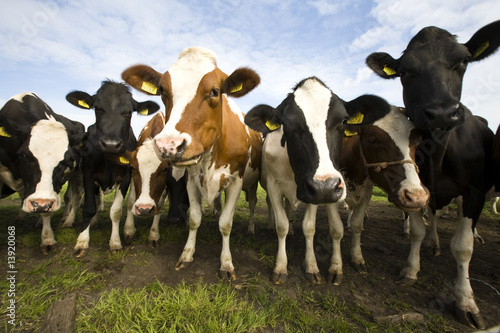 Photo Stands Cow Dutch cows