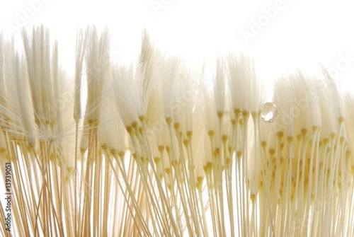 soft dandelion seeds