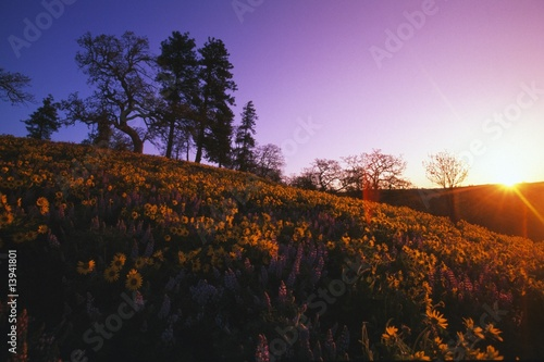 Printed kitchen splashbacks Purple Low-angle view of hill at sunset with trees and blooming flowers.