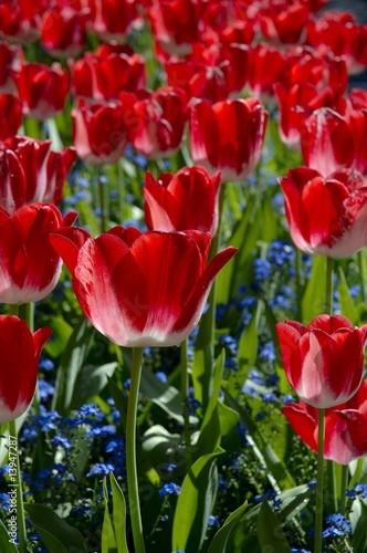 Naklejki tulipany niezliczone-czerwone-tulipany