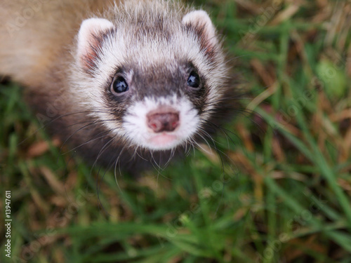 Fotografija  Small ferret