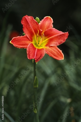 Photo Blooming Day lily