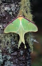 Male Luna Moth On Moss And Lic...