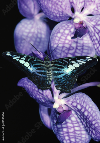 Photo  Clipper Butterfly on Orchid