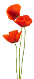 floral design - poppies isolated on white background