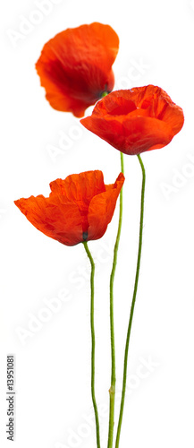 Foto-Kissen - floral design - poppies isolated on white background (von Olivier Le Moal)