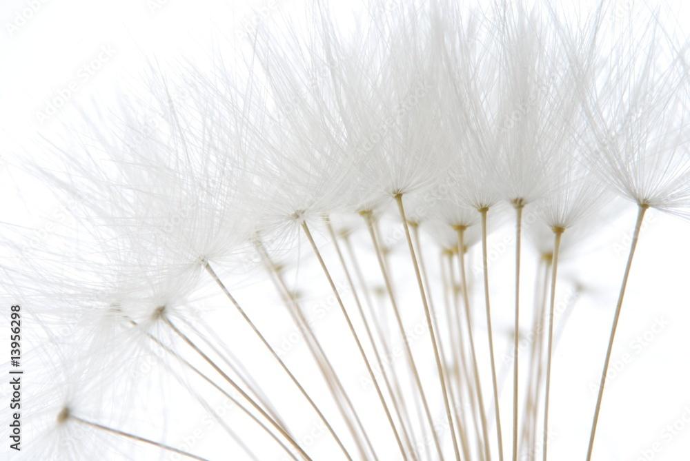 Fototapety, obrazy: soft white dandelion seeds
