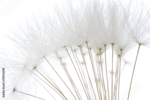 soft white dandelion seeds
