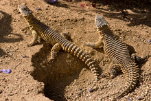 Spiked Reptiles