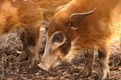 Photo  Red River Hog