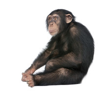 Young Chimpanzee - Simia Trogl...