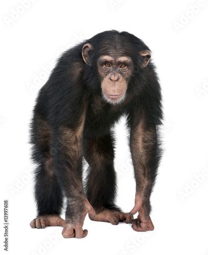 Poster de jardin Singe Young Chimpanzee looking at the camera - Simia troglodytes (5 ye