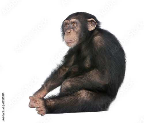 Foto op Aluminium Aap Young Chimpanzee - Simia troglodytes (5 years old)
