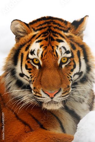 Foto-Flächenvorhang ohne Schienensystem - Tiger portrait (von Igor Zhorov)