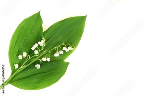 Foto auf AluDibond Maiglöckchen Lilies
