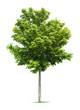 Leinwanddruck Bild - Maple Tree