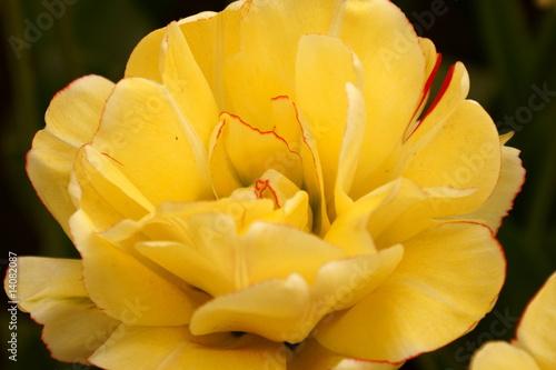 Foto op Canvas Narcis Flower