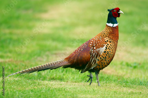 Male Pheasant bird