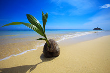 A Sprouting Coconut Washes Up On The Shore