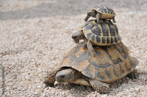 Photo sur Toile Tortue Tortues superposées