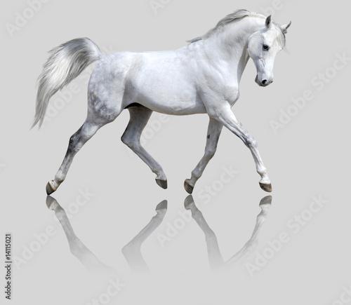 Foto-Flächenvorhang ohne Schienensystem - white horse isolated on gray (von Viktoria Makarova)