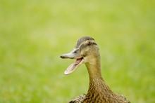 Duck Going Quack