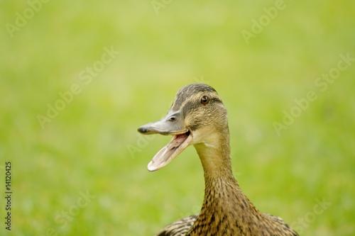 Fotografie, Obraz  duck going quack