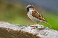 House Sparrow In The Rain